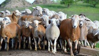 Катумские овцы. Бараны производители, взрослые и молодняк. Фермерское хозяйство 'Катумы'