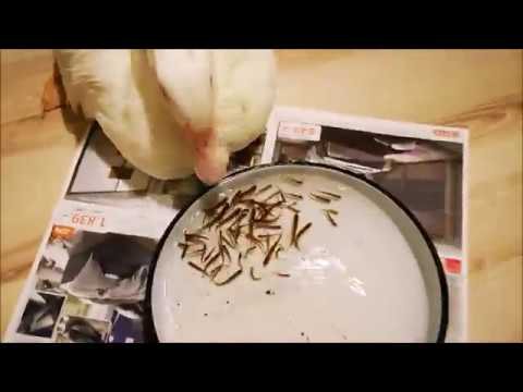 Duck Eats 50 Baby Fishes In 1 Minute!