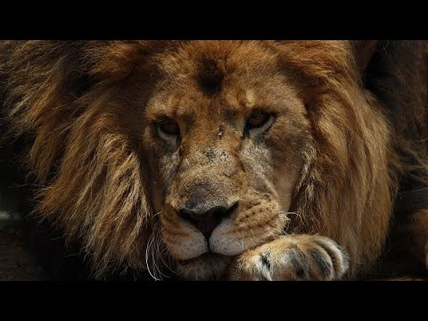 S.Africa's lions prosper with careful watch and fenceless parks
