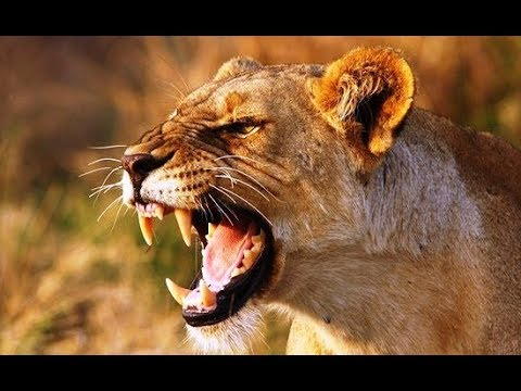 गुस्सैल शेरनी ने महिला को मार दिया Angry Asiatic Lioness killed the woman near Gir forest