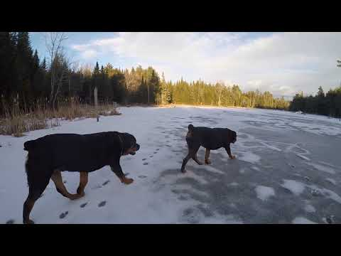 TWO ROTTWEILER DOGS MATING
