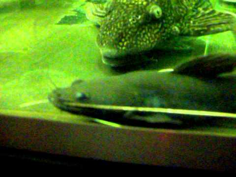 Asian Red Tail Catfish ( R.I.P)