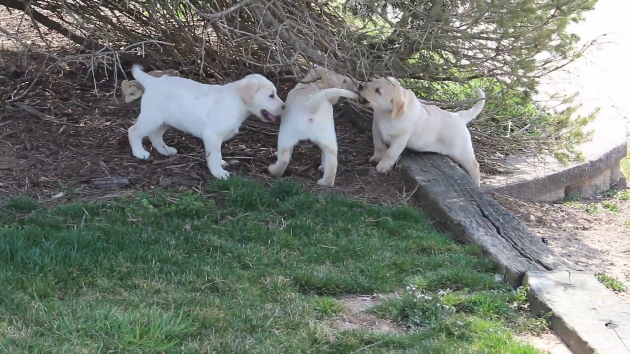Yellow English Labrador Retriever puppies for sale