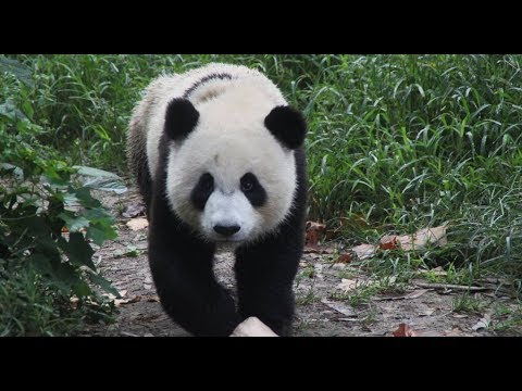 Cuddly envoys overseas: Giant pandas in Washington D.C.
