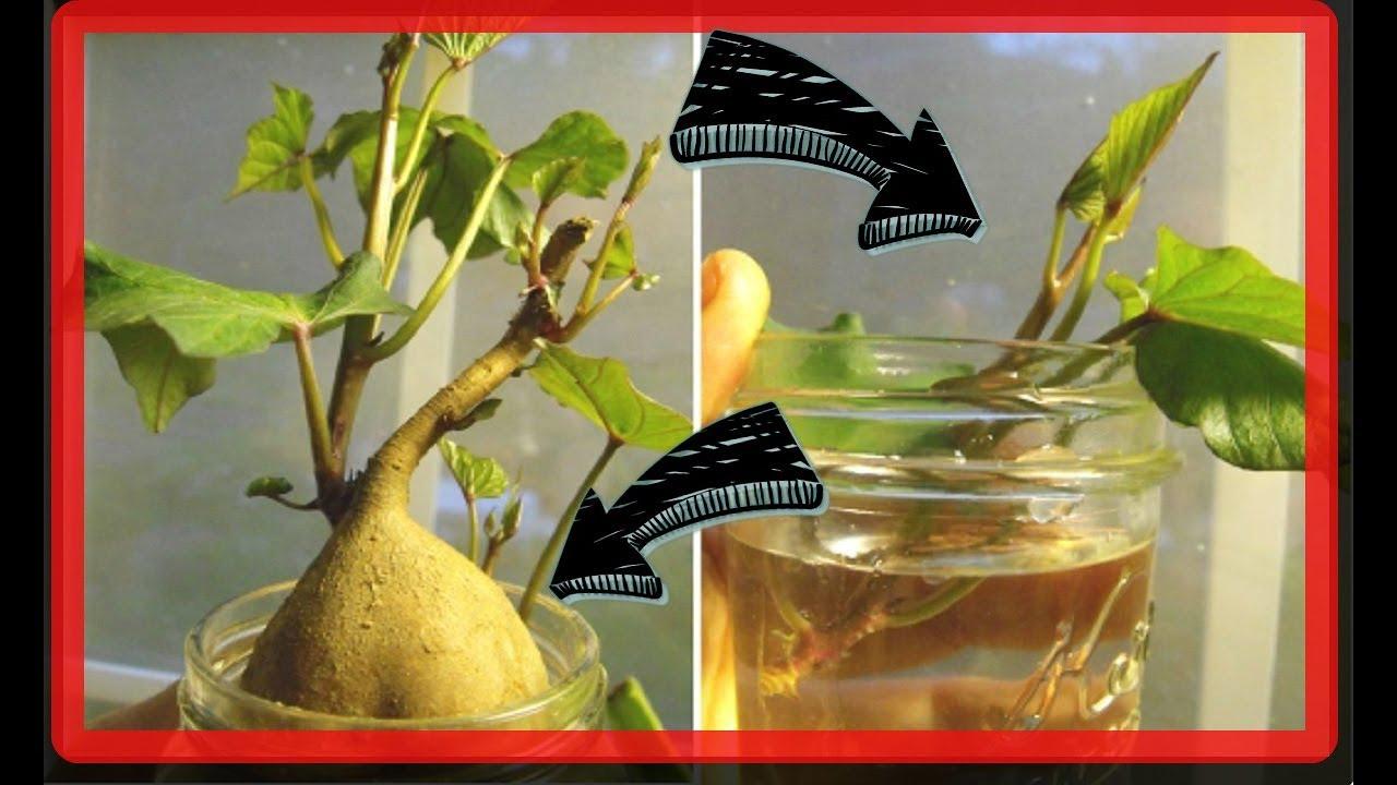 10 restos de frutas y verduras que vuelven a crecer for Como se planta la lavanda