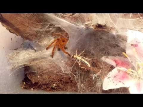 Pterinochilus Murinus (OBT) Feeding