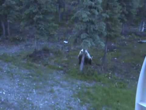 Grizzly Bear cubs under the deck at 4:30 AM &Then here comes the SOW charging in...