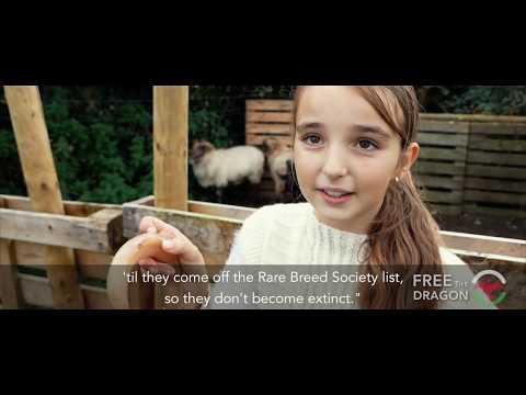 Saving Britain's rarest sheep... at age 10 - By Haydn Rushworth