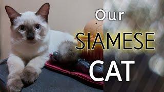 Siamese Cat (cuteness overload) video compilation