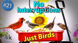 21. Cat TV Hours of Closeup Birds feeding  NO ADs Interrupting 4K Birds for Cats to Watch #CATTV