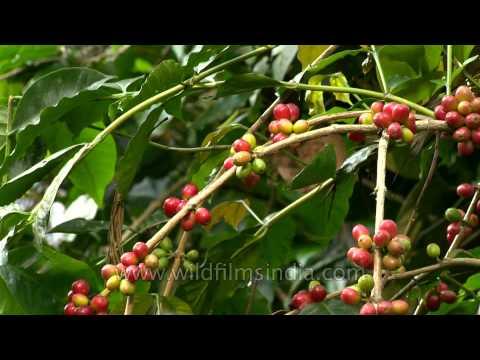 Ripe coffee beans in Karnataka, India
