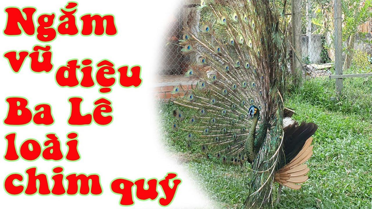 Vũ điệu chim công mùa sinh sản   Trại chim công Cần Thơ   Chuyện nhà nông
