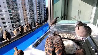 산비둘기 아침식사 따뜻한 물로 목부터 축이고 서둘지 않…