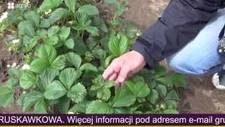 Herbicydy w uprawie truskawek, wsparcie i pomoc