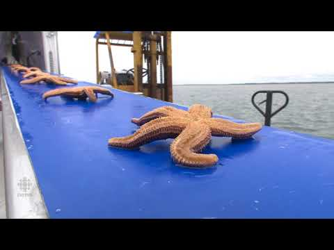 Former Fisherman Works 'milking' Starfish For Use In Cosmetics