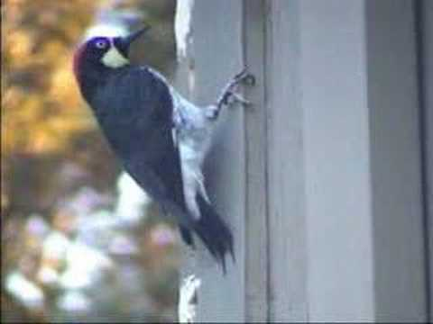 how to stop a woodpecker from pecking your house