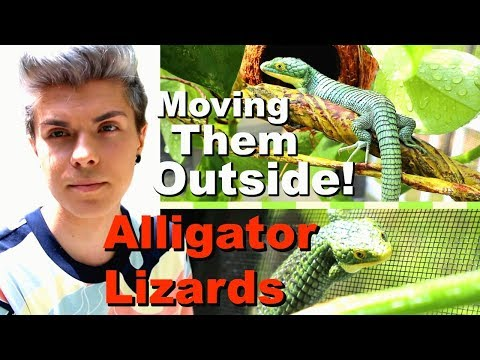 Moving My Abronias Outside! | New Enclosure Build