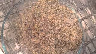 Quinoa:  Sifting seed from the flowers