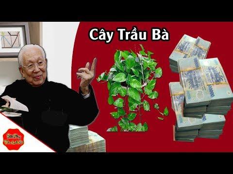 Thầy Phong Thủy Chỉ Vị Trí Đặt 1 Cây Trầu Bà Trong Nhà, Sau 1 Đêm Tiền Về ÀO ÀO, Bạc Vàng Chật