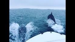 Delfine (Große Tümmler) in der Ostsee vor Schleswig-Holstein