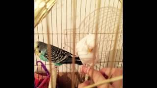 Фото моих попугаев