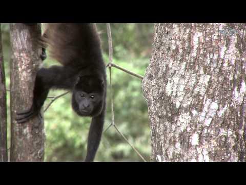 Brüllaffe - Mono congo - Howler Monkey - Costa Rica
