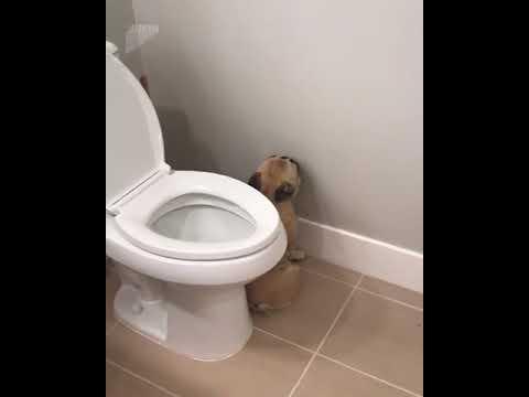 Guilty French Bulldog