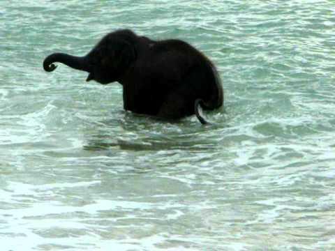 Baby elephant swim