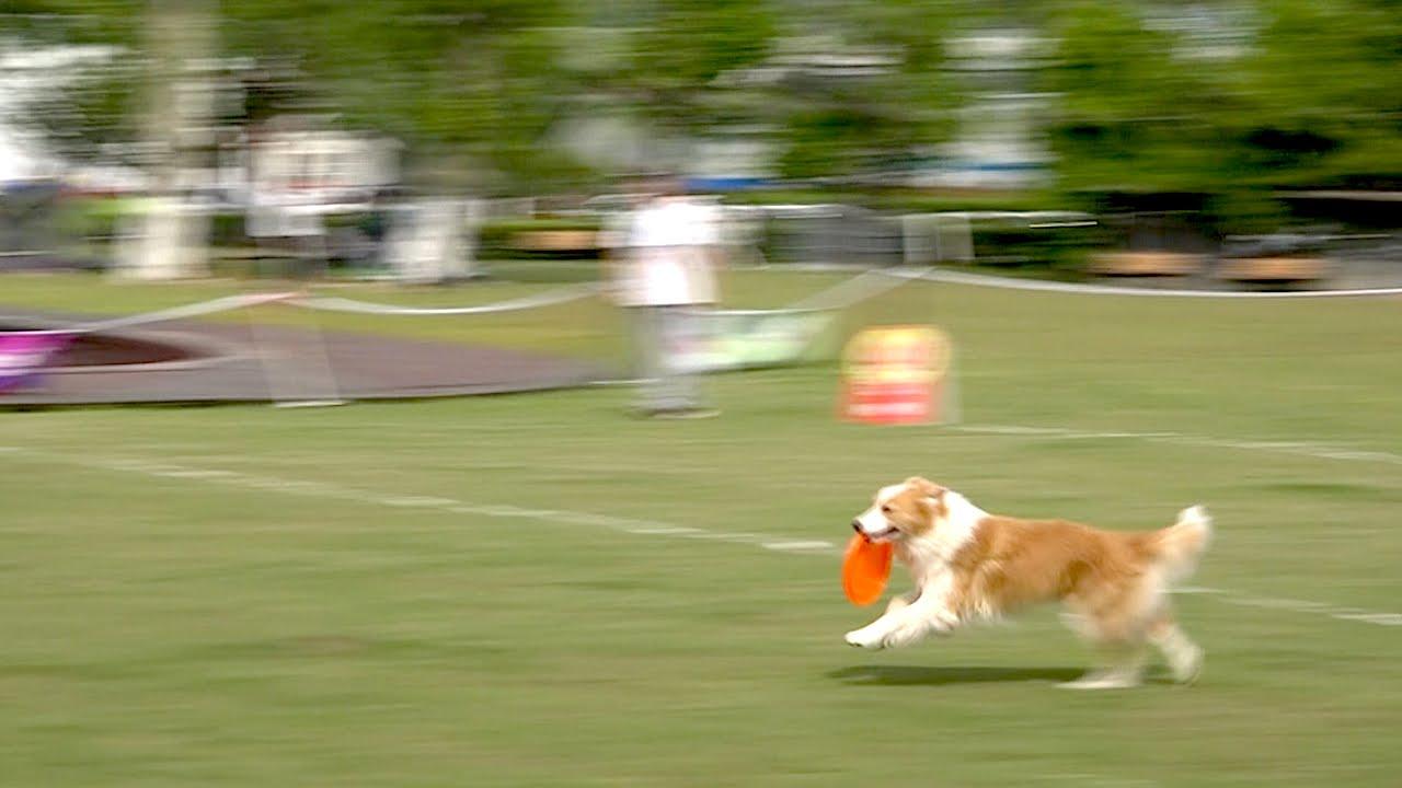 飞盘狗比赛_狗狗抢飞盘赛世界杯 / Frisbee Dog World Championship in Nanjing - YouTube