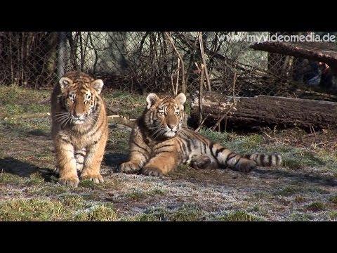 Sibirian Tigers, Tierpark Hellabrunn, Munich - Germany HD Travel Channel