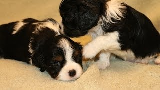 Cavalier King Charles Spaniel Puppies At Play.