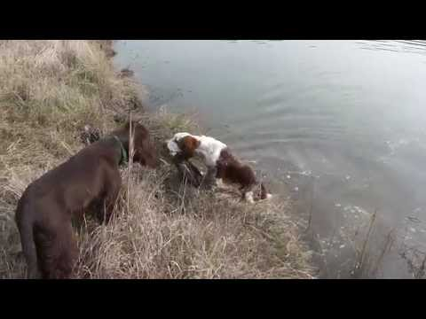 welsh springer vs field spaniel