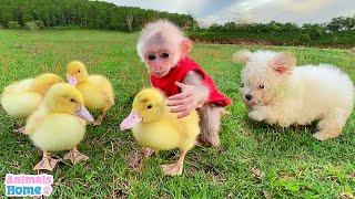 Baby monkey protects and takes care of ducks
