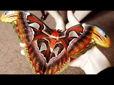 Attacus atlas (atlas moth) has emerged