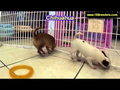 Chihuahua, Puppies, For, Sale, In, Billings, Montana, MT, Missoula, Great  Falls, Bozeman