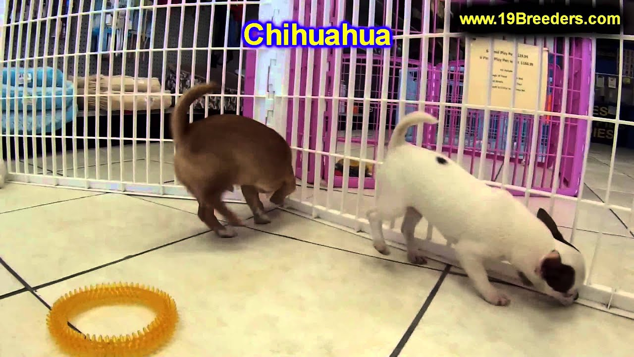 Chihuahua Puppies For Sale In Billings Montana Mt