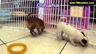 Chihuahua, Puppies, For, Sale, In, Billings, Montana, Mt, Missoula, Great  Falls, Bozeman