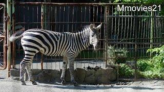 "Grant's Zebra ""Hyuma""(male,5years old) 円山動物園のグラントシマウマ..."