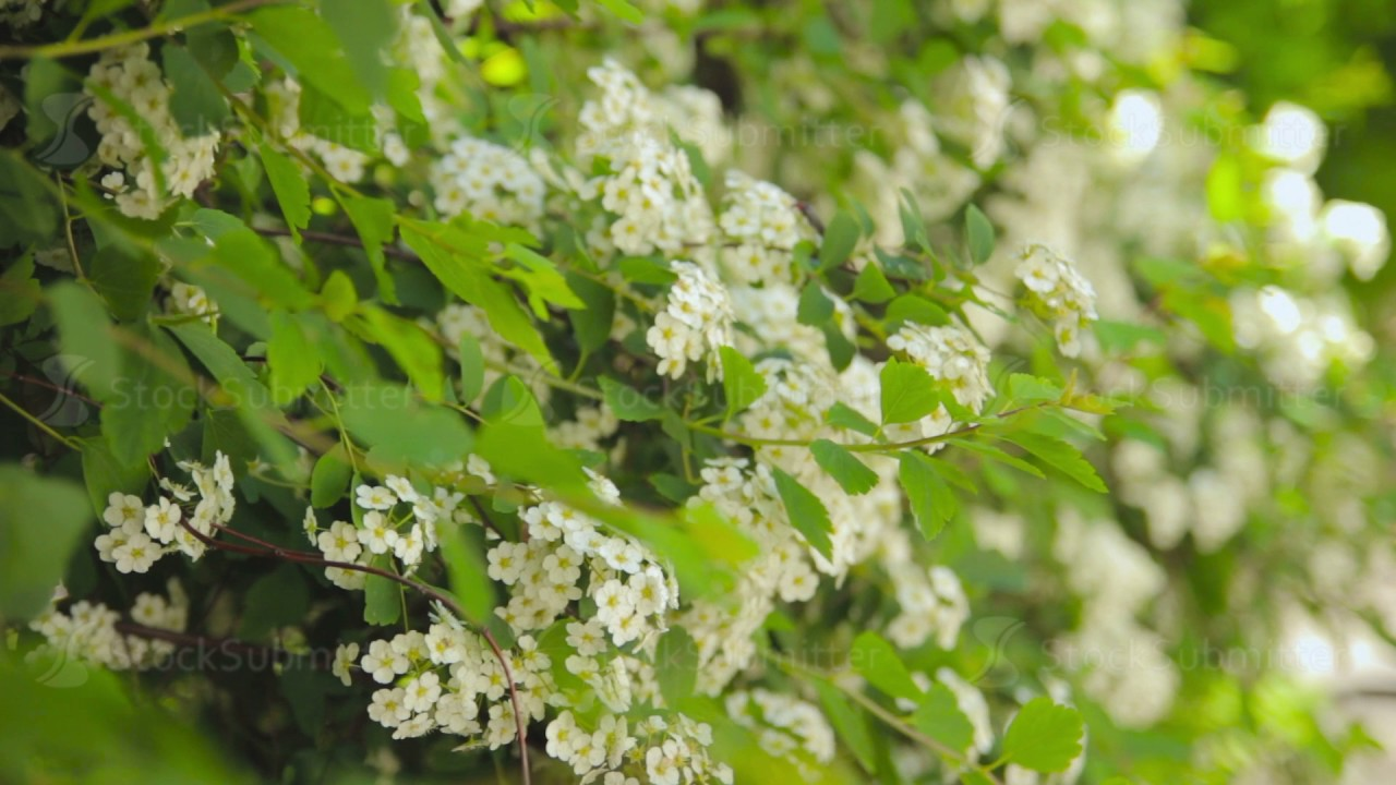 Shrubs And Trees With White Flowers In The Park Youtube