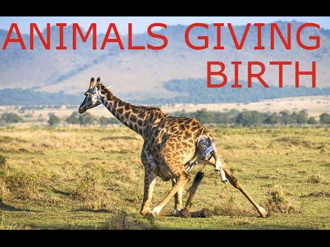 animals-giving-birth-compilation-2016---amazing-video!