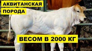 Разведение Аквитанской породы коров как бизнес идея   КРС   Аквитанская корова