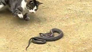 Кошка напала на змею