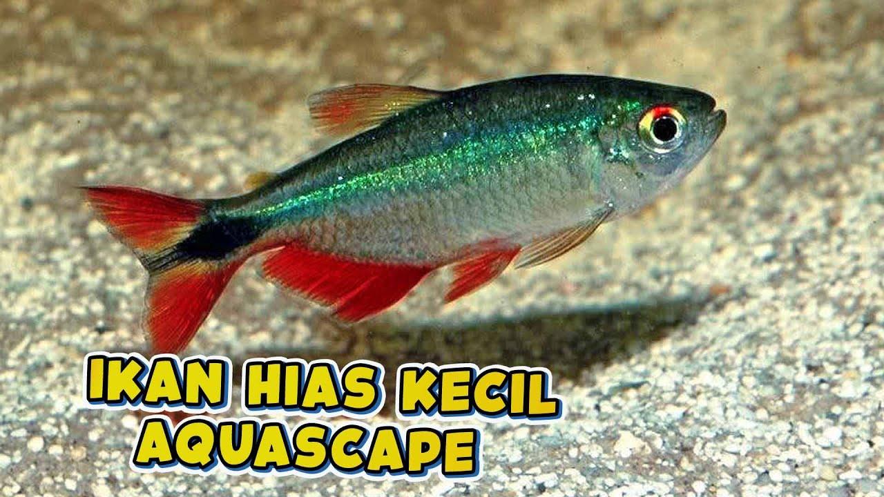 Ikan Hias Kecil Aquascape Terbaik Youtube