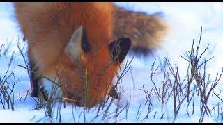 """Ответ на видео """"Что делает лиса?"""" - Вопросы и Ответы"""