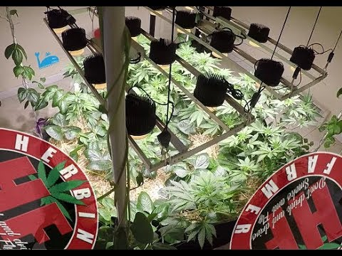 Indoor Organic Cannabis Ocean Grown Style COB LED Cycle 2 No Till 7