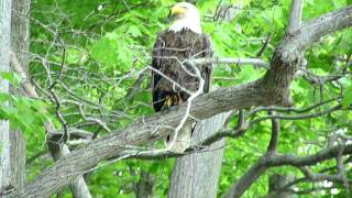 Pine Creek Gorge PA Bald Eagle