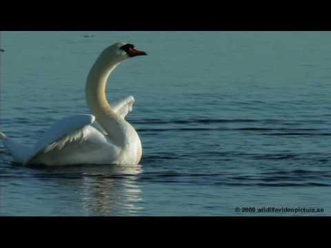 Dancing of swans! Svandans! Knölsvan Mute Swan (Cygnus olor)