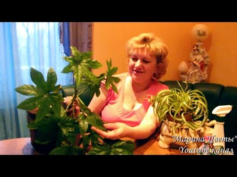 ПИВО - для полироли листьев комнатных цветов! Подготовка комнатных цветов к весне
