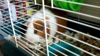 Guinea Pig Dance Thumbnail