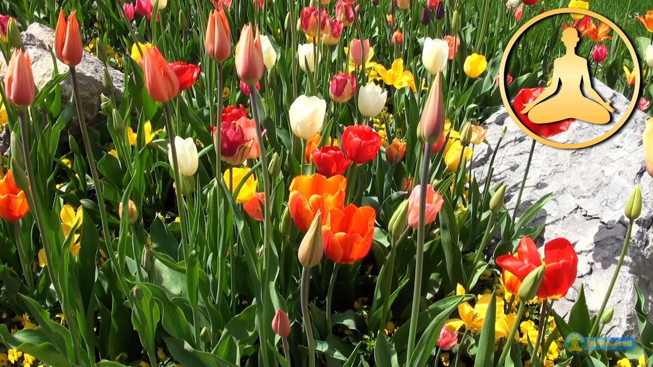 hdtv relaxing nature tulips flowers birds chirp sing full hd